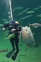 Meeresaquarium, Taucher füttert die Fische in einem riesigen Becken während einer Vorführung, marines Aquarium mit Meeresfischen, Schauaquarium, u.a. auch ein Mondfisch, Mond-Fisch, Klumpfisch, Mola mola, Sunfish, ocean sunfish, Klumpfisk
