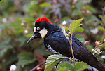 Acorn woodpecker, Santa Cruz Mountains