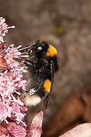 Helle Erdhummel, Weißschwanz-Erdhummel, Weißschwanz Erdhummel, Bombus lucorum, Blütenbestäubung, Nektarsuche, Blütenbesuch an Pestwurz, white-tailed bumble bee