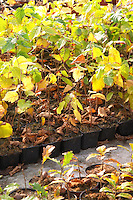 Young plants in the nursery that have been seeded with truffles spores and that will be planted and produce truffles. Hazel plants and oak Truffiere de la Bergerie (Truffière) truffles farm Ste Foy de Longas Dordogne France