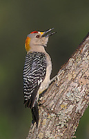 Golden-fronted Woodpecker, Melanerpes aurifrons, male calling, Willacy County, Rio Grande Valley, Texas, USA