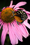 Golden Helicon butterfly (Heliconius hecale), on Echinacea