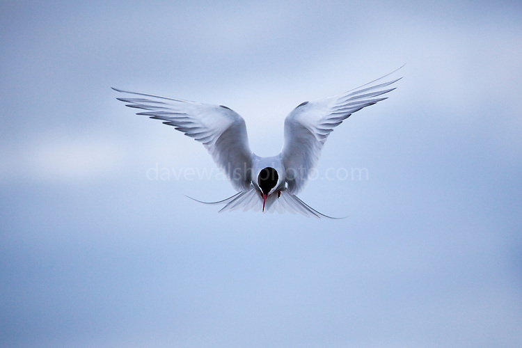 Arctic Tern ready to defend - and that means attacking the photographer - above its nest, which it constructed in gravel alongside a road at the scientific research base in Ny-&Aring;lesund, Svalbard, 1200km from the North Pole. Arctic terns migrate more than any other species of any known animal - up to 70,000km to Antarctica and back to the Arctic every year.<br />