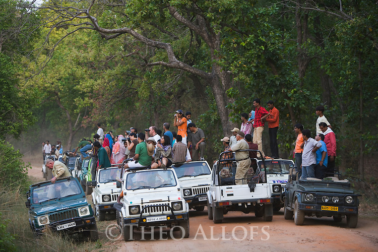 Large group of tourists in game drive vehicles watching Bengal tiger (Panthera tigris); over the last few year the popularity of Bandhavgarh National Park has lead to an increased tourism that often results in disturbing the tiger movement