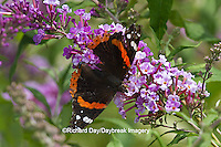 03408-00703 Red Admiral butterfly (Vanessa atalanta) on Butterfly Bush (Buddleia davidii) Marion Co., IL
