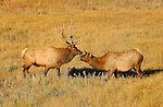 Bull Elk feeding Cow at Sunrise, Madison River Meadow, Yellowstone National Park, Wyoming