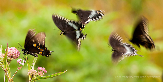Swallowtail party amongst the milkweed blossoms.  Taken on a wetland near Alma, IL<br />
