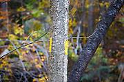 October 2011 - A yellow trail marker (painted blazing) along the Mount Tecumseh Trail, on the ski side, in the White Mountains of New Hampshire.