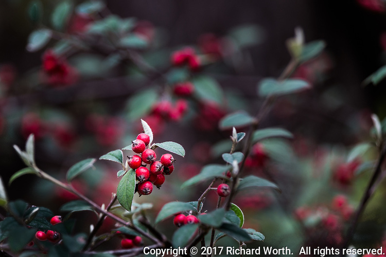 Bright red berries against a soft background with room for text.