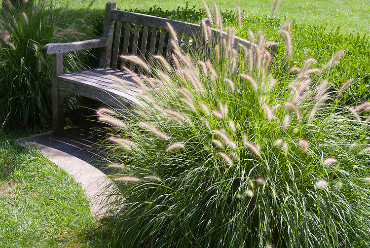 Pennisetum alopecuroides 39 hameln 39 plant flower stock for Ornamental grass bed design