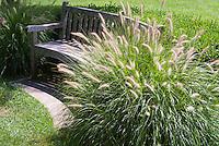 Pennisetum alopecuroides 'Hameln' dwarf fountain grass, ornamental grass, in flower with garden bench seat, specimen plant showing plant habit