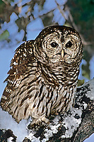 563960002 a captive wildlife rescue barred owl strix varis perches in the snow covered notch of a deciduous tree in central colorado united states