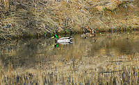 Male and female mallards floating on a pond. The male with his emerald green head stands out but the female nearly completely blends into the landscape.
