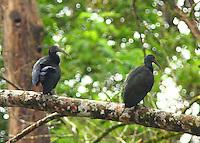 Green ibises