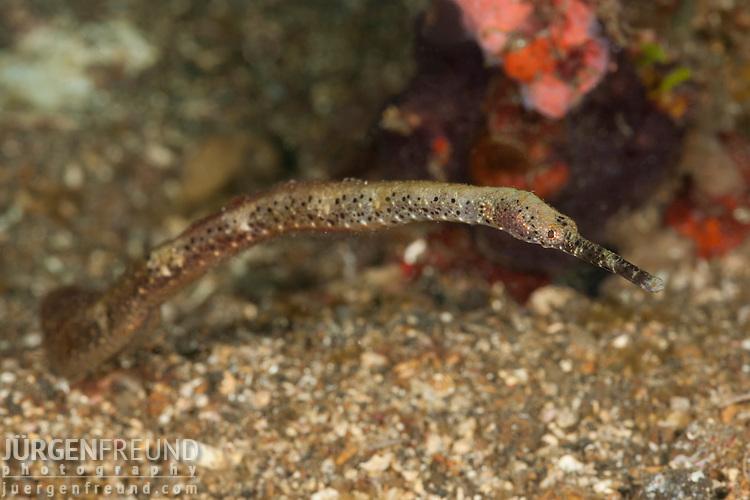 Pipefish
