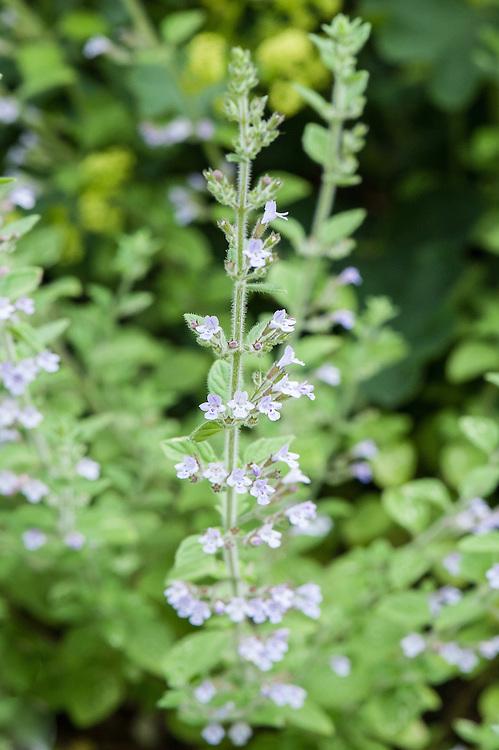 Grey calamint (Calamintha incana), mauve flowered form, mid June.
