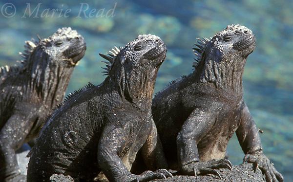 Gal&aacute;pagos Marine Iguanas (Amblyrhynchus cristatus), three sitting together, Fernandina Island, Gal&aacute;pagos Islands, Ecuador.<br /> Slide # R2-34