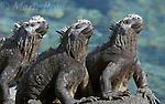 Galápagos Marine Iguanas (Amblyrhynchus cristatus), three sitting together, Fernandina Island, Galápagos Islands, Ecuador.<br /> Slide # R2-34