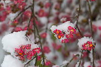 Europäisches Pfaffenhütchen, Früchte mit Schnee, Frucht, Gewöhnlicher Spindelstrauch, Pfaffenkäppchen, Euonymus europaeus, common spindle, European spindle, fruit, snow, Le Fusain, Fusain d'Europe