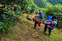 Colombian farm workers carry avocados during a harvest at a plantation near Sonsón, Antioquia department, Colombia, 21 November 2019. Over the past decade, the Colombian avocado industry has experienced massive growth, both as a result of general economic development in Colombia, and the increased global demand for so-called superfood products. The geographical and climate conditions in Antioquia (high altitude, no seasonal extremes, high precipitation rate) allow two harvest windows of the Hass avocado variety across the year. Although the majority of the Colombian avocado exports are destined towards Europe now, Colombia aspires to become one of the major avocado suppliers to the U.S. market in the near future.