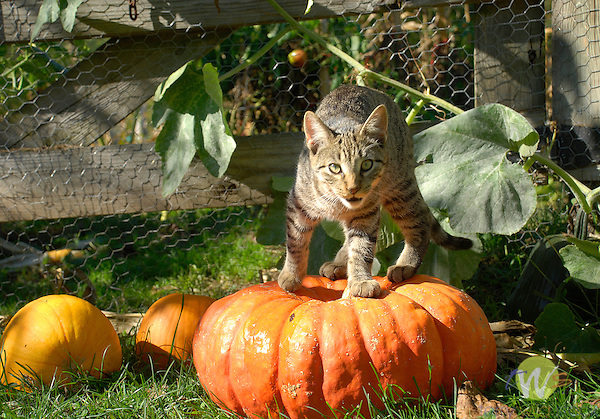 Norman on pumpkins