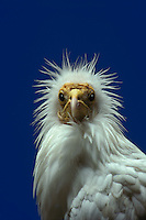 Egyptian vulture with blue background
