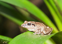 Pastures rainfrog (Cutín de potrero), Pristimantis achatinus, on a bromeliad in Tandayapa Valley, Ecuador