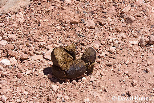 0712-1002  Dung from Wild Burro (Feral Donkey), Mojave Desert, Equus africanus asinus  © David Kuhn/Dwight Kuhn Photography