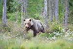 European Brown Bear, Ursus arctos arctos, Kuhmo, Finland, Lentiira, Vartius near Russian Border, walking across marshland with cottton grass, light brown colour,