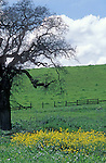 Highway 101, between Santa Barbara and San Francisco, California; a leafless tree stands over a patch of colorful wildflowers amongst a field of green grass