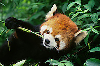 Red panda or lesser panda (Ailurus fulgens) eating bamboo shoot, Wolong Nature Reserve, China.
