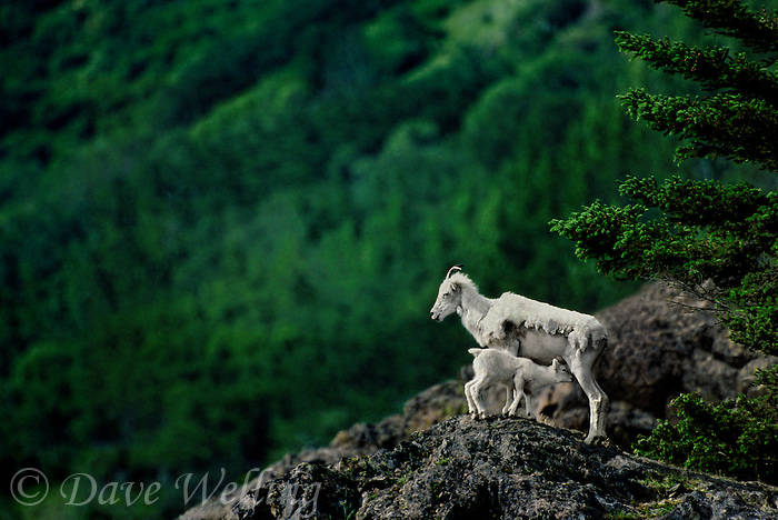 678550345 a wild dall sheep ewe ovis dalli nurses her young kid on a craggy hillside above turnigan arm south of anchorage alaska