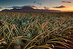 Pineapple plantation on the North shore of Oahu near Waialua Bay, Hawaii