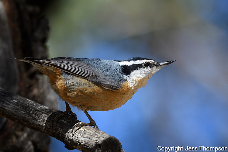 Red-breasted Nuthatch, Fort Davis State Park