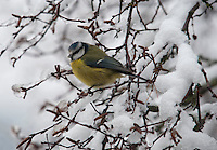 Bluetit in a snow covered tree, Whitewell, Lancashire.