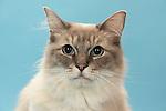 Ragdoll Cat - Head study showing blue Eyes