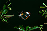 Greta Oto, Clearwing, Glasswing Butterfly, in flight, flying, Ecuador, Jungle, high speed photographic technique