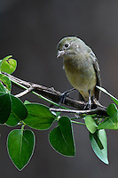 Painted Bunting - immature