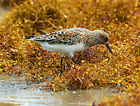 Adult male sanderling in breeding plumage feeding in sargasso weed on beach at Bolivar Point, TX