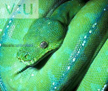 Green Tree Python (Morelia viridis) New Guinea and Northern Australia