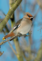The Waxwing Bombycilla garrulus (L 18cm) is a much-admired bird, named because adults have red, wax-like projectionist on the wings. The plumage is mainly pinkish buff plumage but note the crest, black throat and black mask through the eye. The rump is grey, the undertail is chestnut and dark tail has a broad yellow tip (narrower in females than males). Waxwings breeds in northern mainland Europe and are winter visitors to Britain. In most years there are just a few records but once every decade or so they appear in large numbers. Typically, they are remarkably indifferent to people, allowing superb views to be had.