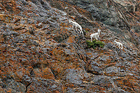 Summer landscape of Dall Sheep Ewe and lamb on rocks at Windy Corner of Chugach Mountains, Summer, Alaska   <br /> <br /> Photo by Jeff Schultz/  (C) 2019  ALL RIGHTS RESERVED