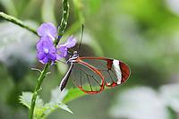 Glasswinged butterfly (Greta oto) on a flower, feeding, Mainau Island, Baden-Wuerttemberg, Germany, Europe