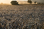 TURKEY: cotton harvest