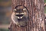 FB 402   Raccoon.  5x7 PC