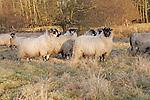 Sheep grazing on rough winter pasture, Shottisham, Suffolk, England