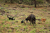 USA, Oregon, Joseph, cow dogs move a cow back towards the herd by Big Sheep Creek