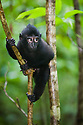 Young male crested black macaque climbing in tree, (Macaca nigra), Indonesia, Sulawesi, endangered species, threatened through loss of habitat and bush meat trade, species only occurs on Sulawesi.