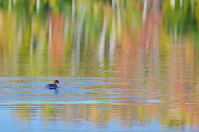 A duck floats through fall color reflections, Council Lake, Hiawatha National Forest, Alger County, Michigan