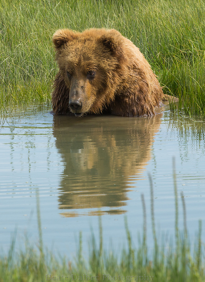 A male Alaskan brown bear is taking a bath in a tidal slough in Lake Clark National Park, Alaska